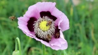 Опиумный мак и сумашествие пчел