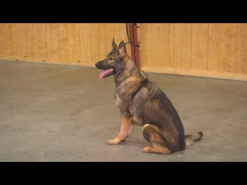 """Sable Male German Shepherd """"Apex"""" 17 Mo's Obedience Tricks Protection Trained Dog For Sale"""