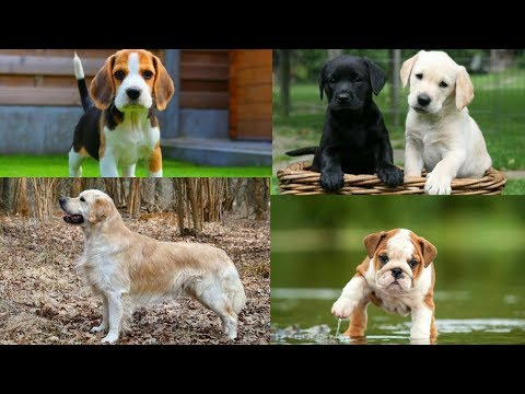 Best family dogs | top 10 friendly dog breeds