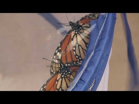 Monarch butterfly population declines, becoming endangered