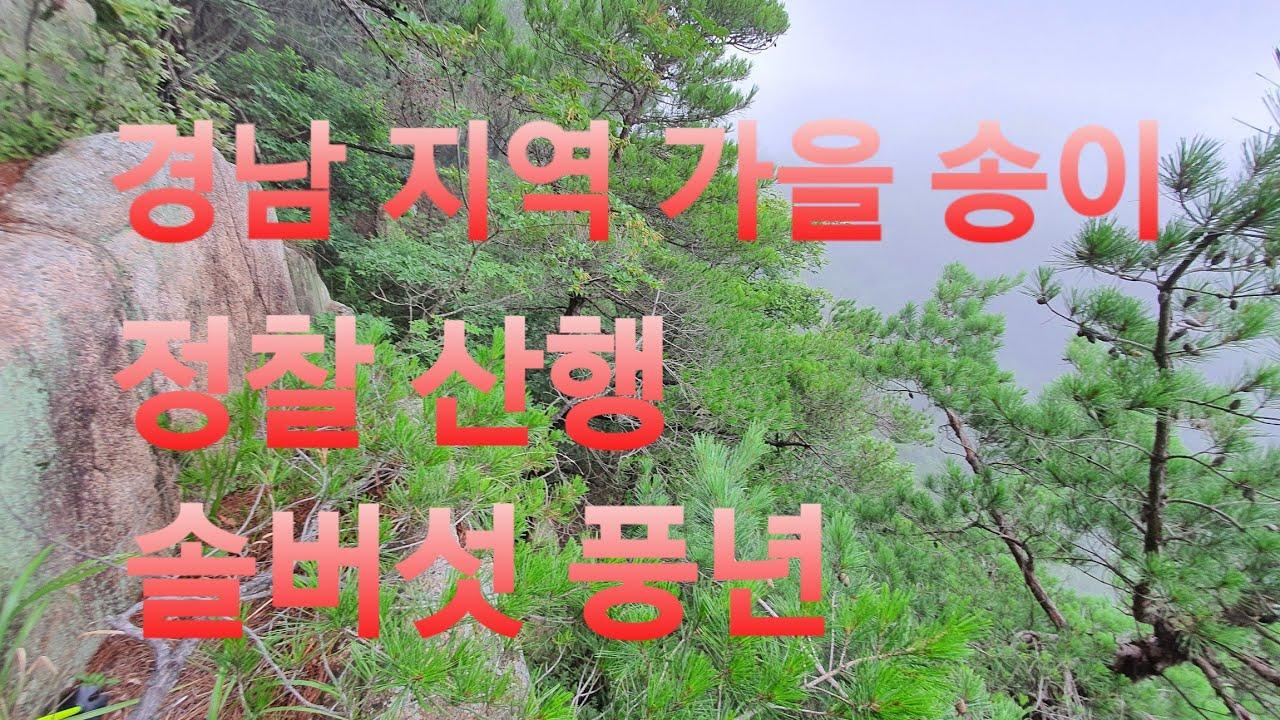 경남지역 가을 송이 정찰 산행~맛있는 솔버섯 지금이 적기~