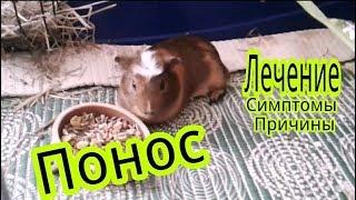Svinki Family Blog :что делать если у морской свинки расстройство желудка ?