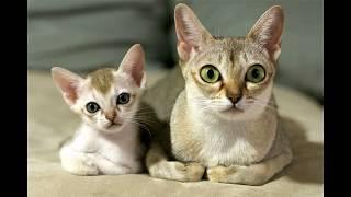 Самые маленькие породы кошек. Топ-10