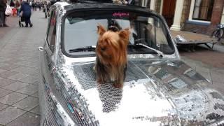 Yorkshire Terrier Chanel Tijdens Fashion Days Alkmaar