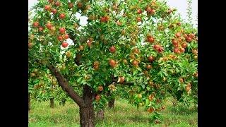 Заброшенный яблочный сад. Вот это урожай!