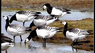 Barnacle Geese and Greylag Geese drinking water from a small pond