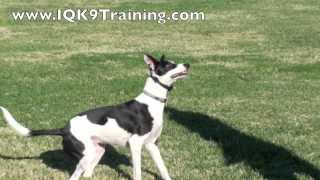 Iq K9 Training | Carlsbad Dog Training With An Amazingly Fast Dog, 'soldier'!