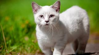 Порода кошек. Манчкин. Кошка-такса с короткими лапками. Очень интересная история появления породы