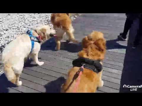 설악산 #골든리트리버들의 바다산책 [Korea Dog TV live] 170403 #속초애견호텔