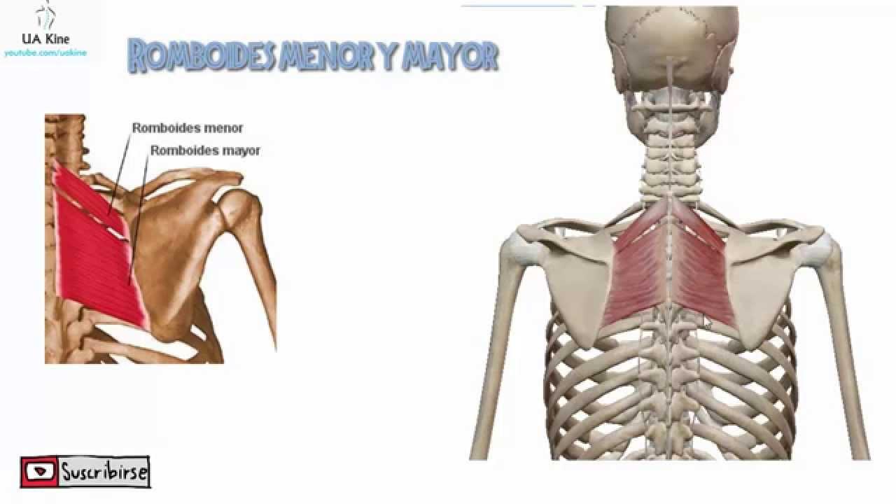 musculo psoas veterano creación e insercion