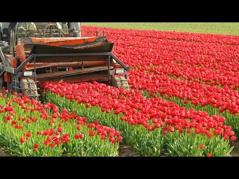 How To Harvest Tulip Flower ? Tulip Cultivation And Tulip Farming