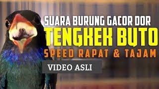 Video Suara Tengkek Buto Jernih Buat Burung Langsung Gacor download MP3, 3GP, MP4, WEBM, AVI, FLV Oktober 2018