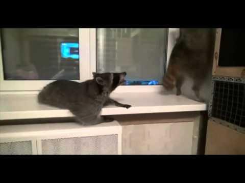 Смешные видеоролики про енотов