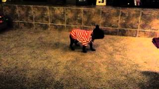 """French Bulldog """"talula""""  Hates Her Xmas Outfit"""