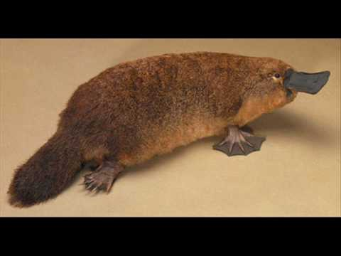 The Call of the Platypus