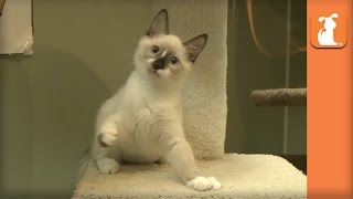 Hilarious Baby Kittens Won't Let Go Of Feather Toy - Kitten Love