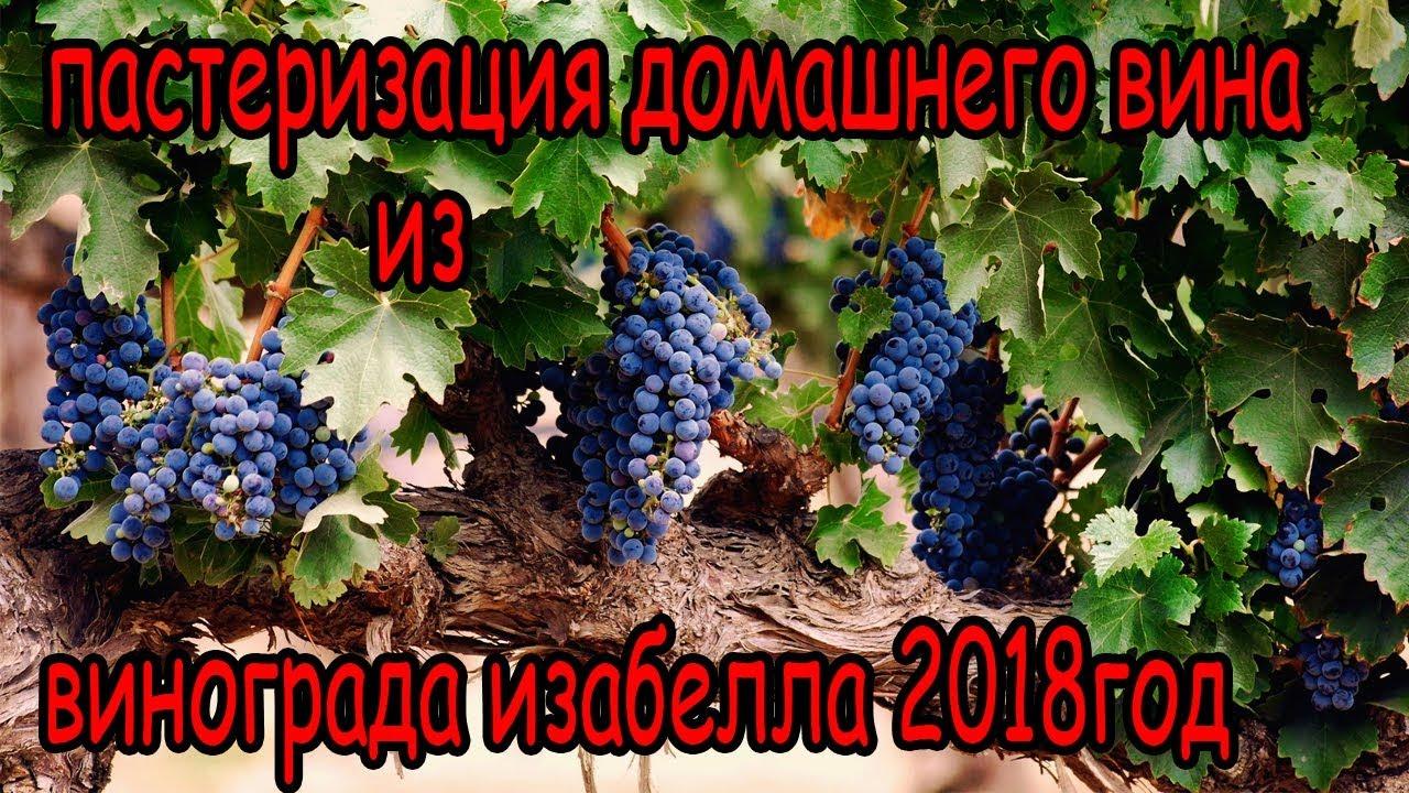 самодельное домашнее вино изабелла  пастеризация в подвальных условиях