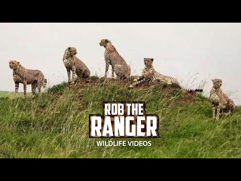 Five Cheetahs Of Maasai Mara | Tano Bora, Fast Five, Five Musketeers thumbnail