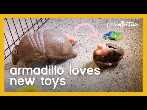 Armadillo Plays With Toys