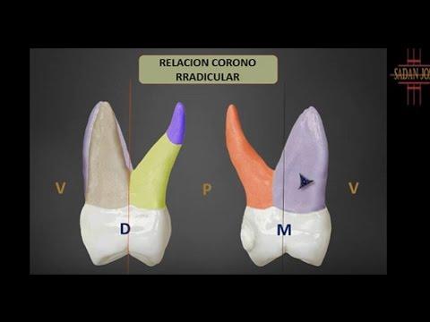 primer molar superior anatomía 2 - YouTube