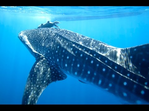 Swimming with Whale Sharks and Sea Lions in La Paz, Mexico