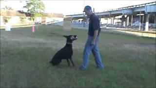 Jacksonville Dog Training- Ipo Obedience Dumbell Retrieve With Jum & Fedor