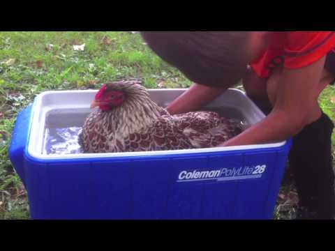 Broody Hen Chickens How to undo broodiness. Stop sitting on eggs. Does Water Work?YES!
