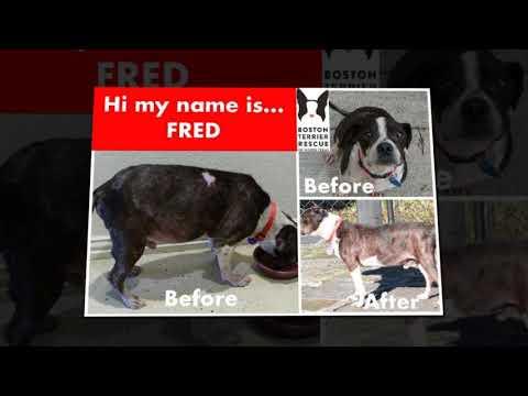 Boston Terrier Rescue of North Texas 2019