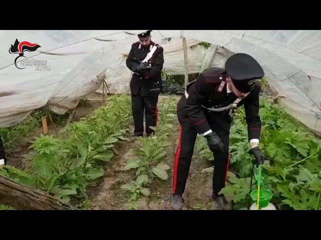 Coltiva marijuana tra gli ortaggi. Arrestato 35enne dai carabinieri