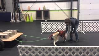 Siberian Husky Weight Pull