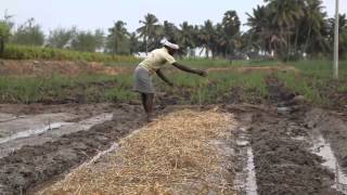 System of Rice Intensification (SRI) Cultivation.mp4