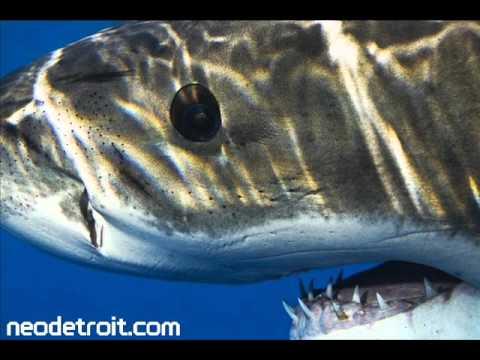 Luv Jam - Shark (HQ)