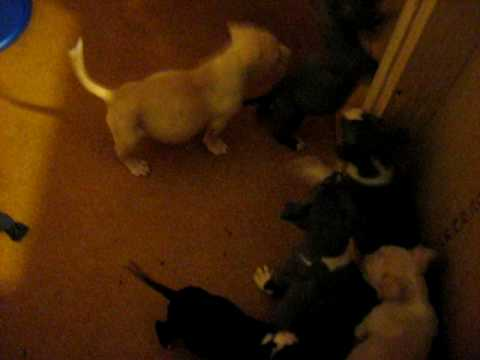 Duel registered UKC, ADBA Pitbull pups 4 sale