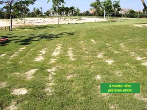 Zenith Zoysia sod and seed: perfect for home lawns, sports turf, golf courses, and roadsides.