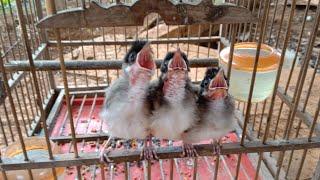 Ghép chào mào sinh sản•cách để chim mái nhận trống•Lã Dược