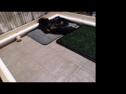 Redwing Australian terrier puppies