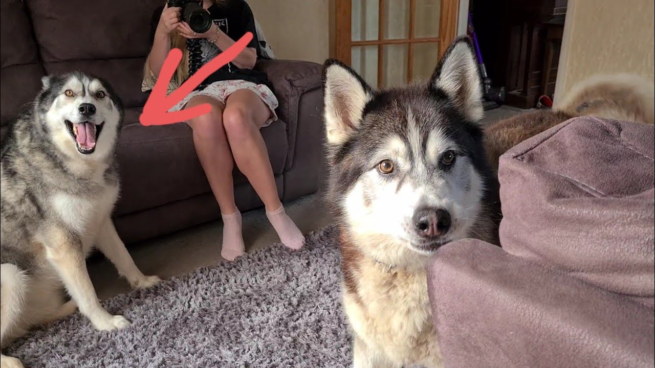 Husky is so Happy when we turn up to Surprise him