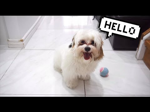 MEET MY CUTE DOG- PRIMO 🐶 || Shih Tzu And Poodle Mix