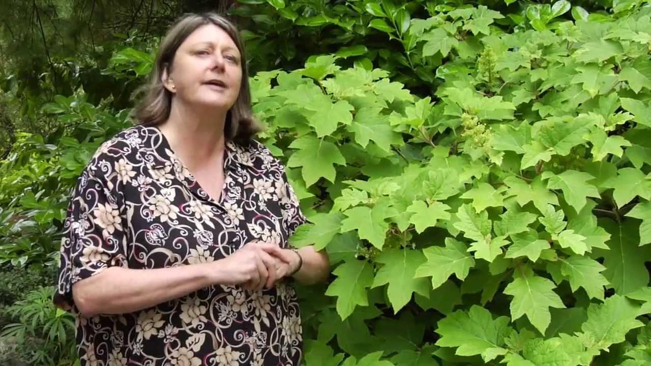 how to prune oakleaf hydrangea video w plant amnesty youtube - When To Trim Hydrangea