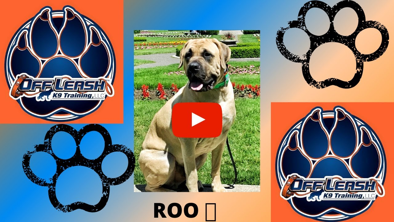 "15 month old mastiff ""ROO"" amazing transformation   Off Leash K9 Training Spokane WA "