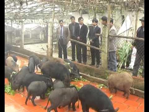 Mô Hình Nuôi Lợn Rừng ở xã Yên Bình - huyện Thạch Thất.flv