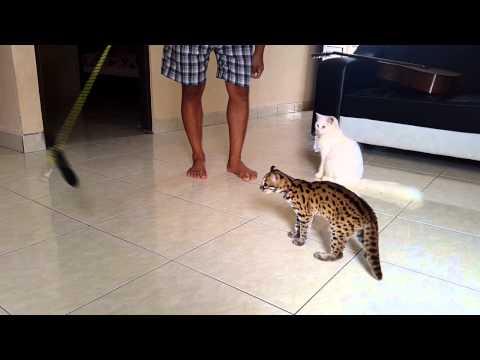 Kucing Hutan Garang Funnycat Tv