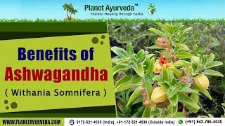 Benefits of Ashwagandha ( Withania Somnifera )