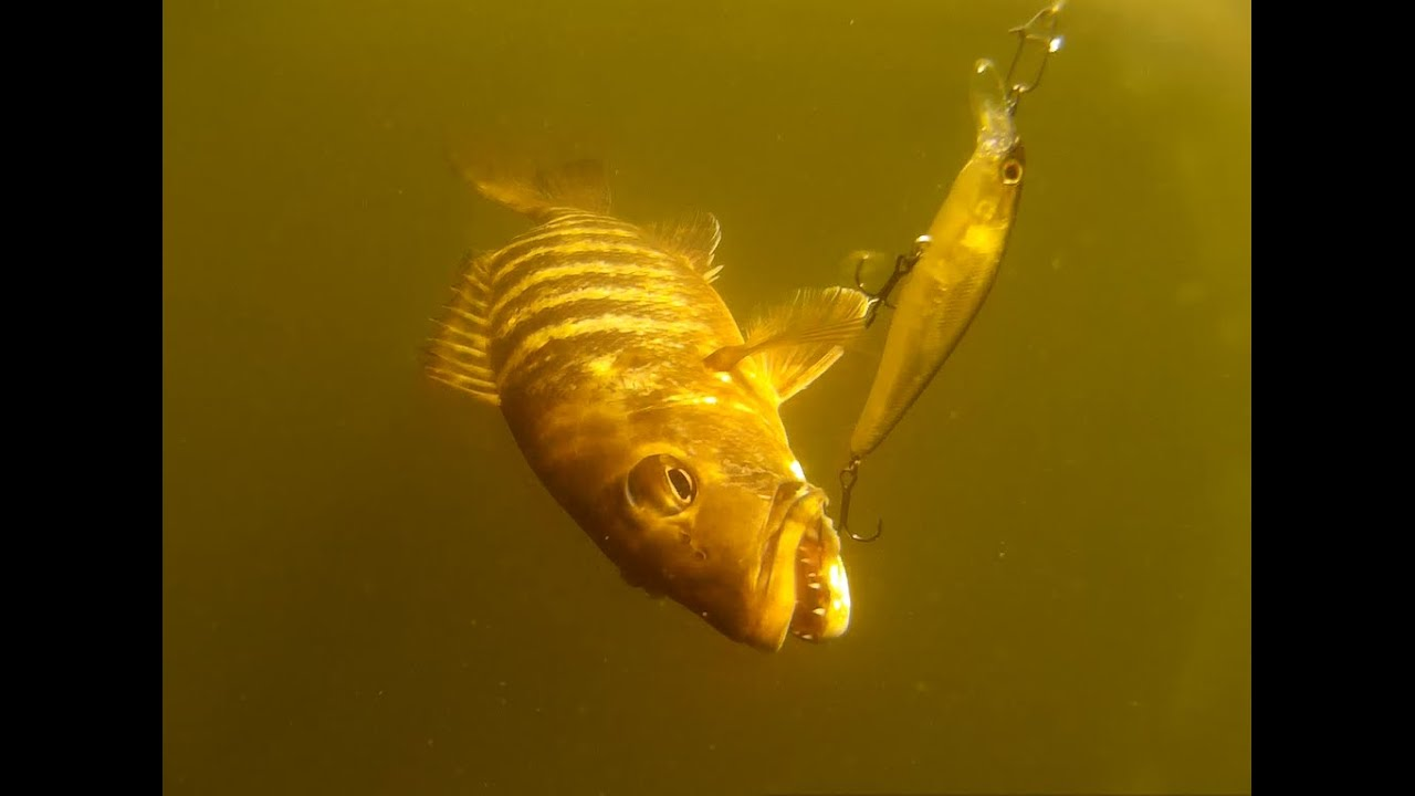 Caranha e robalinho no plug pescaria com caiaque 7 for Elias v fishing