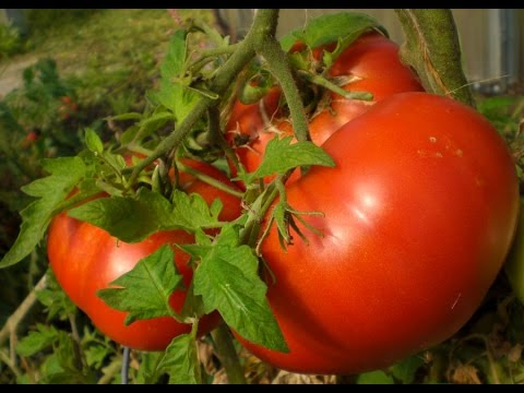 Better Tomato Growth Through Effective Pruning