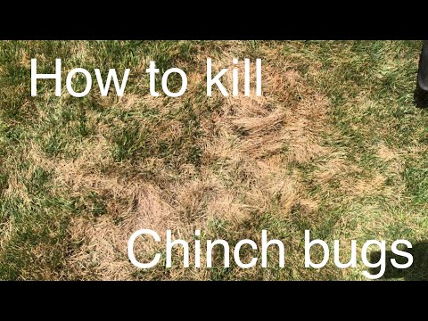 How To Kill CHINCH BUGS And SOD WEBWORM   BIFENTHRIN