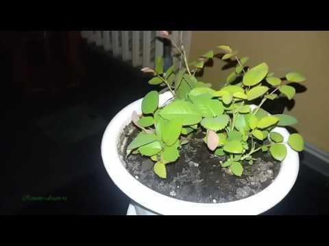 Размножение роз черенками в домашних условиях. Видео