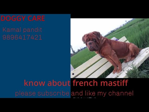 Know about french mastiff is large breed, active, healthy...,...