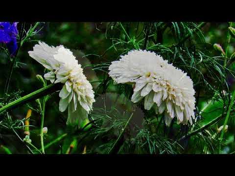"Махровая ромашка «Эдельвейс». Chamomile ""Edelweiss""."