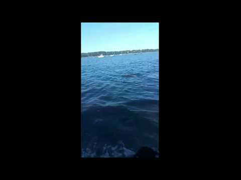 Un chien sauve un faon de la noyade (Long Island)